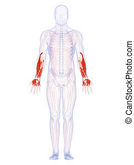 The lower arm muscles - 3d rendered illustration of the...