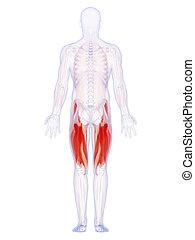 The upper leg muscles