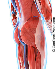 Male musculature - 3d rendered illustration of the male...