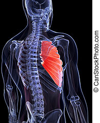 Serratus anterior muscle - 3d rendered illustration of the...