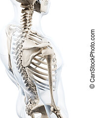 Human skeleton - 3d rendered illustration of the human...