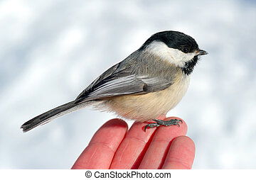 Bird in the Hand 2 - Black-capped Chickadee (Poecile...