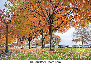 Maple Trees in Portland Downtown Park in Fall - Maple Trees...