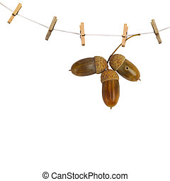 Oak branch with acorns hanging on clothesline isolated on...