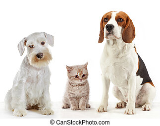 three domestic animals cat and dogs sitting on a white...