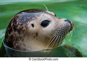 harbor seal - Young Harbor Seal lat Phoca vitulina with his...
