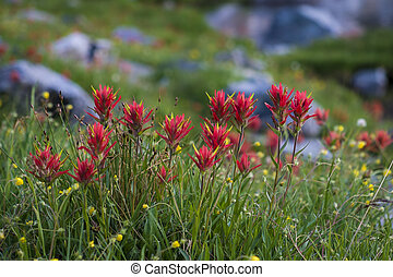 Red paintbrush wildflowers, Rocky Mountains