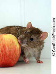 Rat with apple - Pet rat sniffing on apple