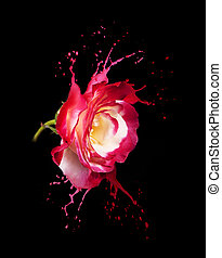 red rose splashes - red rose with red splashes on black...
