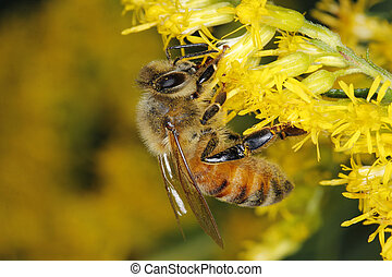 Honeybee on Goldenrod - Honeybee Obtaining Nectar From...