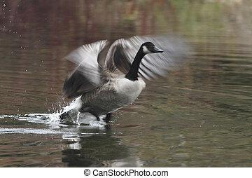 Canada Goose Taking Flight - Canada Goose Branta canadensis...