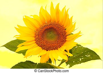 Sunflower - Closeup of a sunflower with yellow background