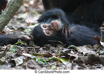 Young chimpanzee lying - Young chimpanzee (Pan troglodytes)...