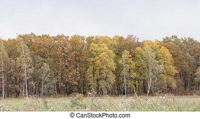 Dry oak leaves in the wind