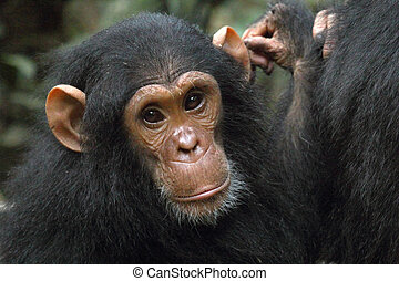 Portrait of a young chimpanzee (Pan troglodytes)