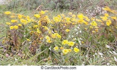 yellow wildflowers in the wind