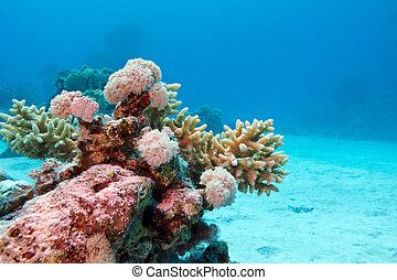 coral reef with hard corals at the bottom of tropical sea on blue water background