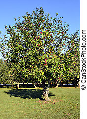Tree in an Apple Orchard