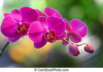 Orchids - Wild and colourful orchids of tropical country of...