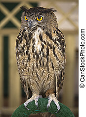 Portrait of a European Eagle-Owl - The Eagle Owl is a very...