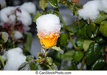 The first snow and the yellow rose, 05102013, city of...