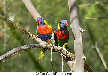 lorikeet birds on a branch - two small colorful lorikeet...