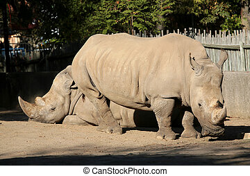 two rinos - two large brown rinocerous together outside in...