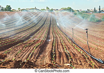 Sprinkler irrigated newly planted field with blue sky -...