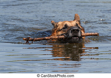 The German Shepherd dog is swimming with a stick in his...