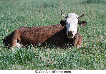 Brown Cow is resting on a green