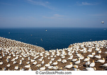 Colony of Northern Gannets sunbathing off Bonaventure Island...