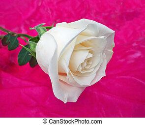 Single White Rose - White rose on pink velvet