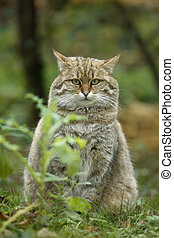 Scottish wildcat, Felis silvestris, single cat, captive