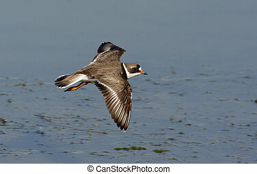 Semipalmated plover, Charadrius semipalmatus, single bird in...