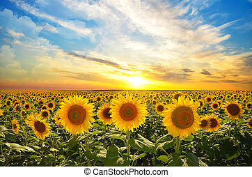 sunflowers - field of blooming sunflowers on a background...