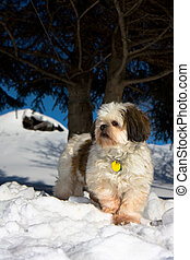 Cute Shih Tzu - Cute portrait of a Shih Tzu
