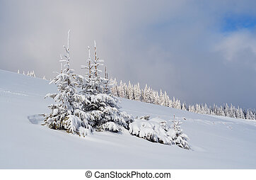 Fir trees in the snow