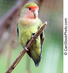 Peach Faced Lovebird sitting on a branch
