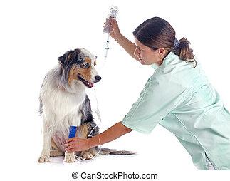 veterinário, cão