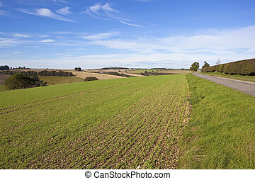 wolds chalklands - a young wheat crop beside a small country...