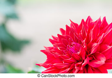 vivid red dahlia flower - this photo is taken in Mie