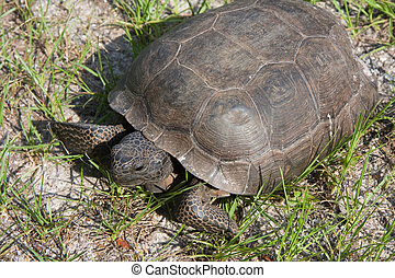 Tortoise - A wild tortoise crawling about Washington Oaks...