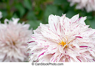 pink and white gradation dahlia - this photo is taken in Mie