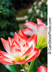 red and white amaryllis - this photo is taken in Mie
