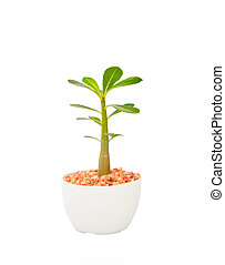 cactus tree plant with green leaves in white pot isolated...