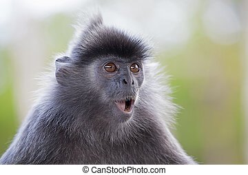 Silver Leaf Monkey - A silver leaf monkey in the mangrove of...