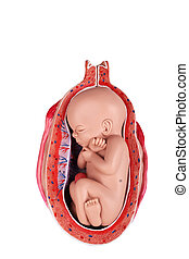 Fetus in womb medical model with a cross section of the...