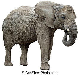 eating elephant isolated on a white background