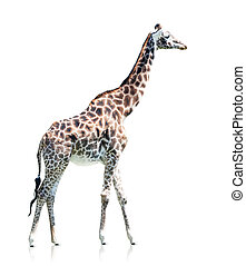 profile view of a giraffe isolated on a white background
