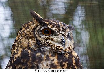 Cape Eagle Owl Close Up Portrait